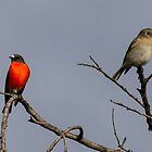 Male and Female Flame Robin  Canberra Australia  by Kym Bradley