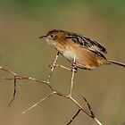 Thredbo here I come  golden headed cisticola Canberra Australia  by Kym Bradley