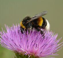 Bumble Bee by Ikramul Fasih