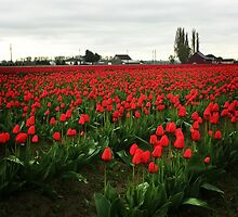 Tulips by hmacfadyen