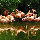 Flamingo Panorama by Phyllis Beiser