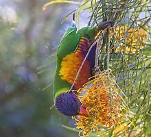 Rosella Hanging From Tree by piepants