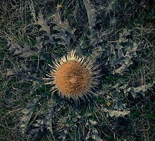 Cardabel rare southern french thistle by paulgrand