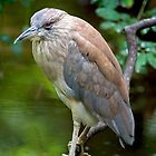 Night Heron by imagetj