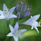 Hosta in Bloom by Lynn Gedeon