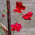 Red Sweet Peas by lynn carter