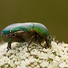 Rose Chafer Beetle by Jon Lees