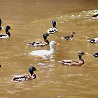 A raft of ducks by missmoneypenny