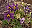 Anemone Pulsatilla by © Kira Bodensted