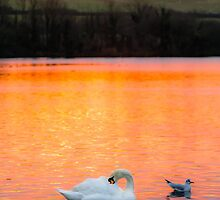 Swan Lake at Sunset by Heidi Stewart