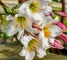 Lilly's In Bloom  by Darren Wilkes