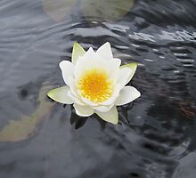 Water lily flower by PVagberg
