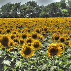 Sunflower Field by Colleen Drew
