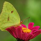 Yellow Butterfly on Pink Zinnia by Janice Carter