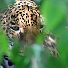Jaguar in Hiding by ACImaging