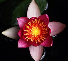Lotus symmetry 1 by Rivendell7