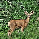 Young Buck Along the Lakeshore by Val  Brackenridge
