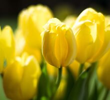 Sunshine Tulips by Pixelglo Photography