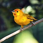 Yellow bird by fita