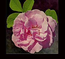 Pink Rose Card by GalleryThree