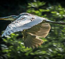 Great Blue Heron in flight by RandyHume