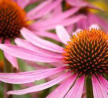 Echinacea by Liz Outhwaite