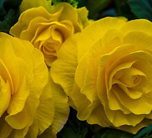 Begonia Shocking Yellow by Alec Owen-Evans