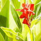 Splash of Colour - Canna by Justin Spooner