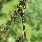 Angels wings 1 - Southern Hawker British dragonfly by Rivendell7