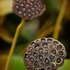 Lotus seedpod double faces by Owed to Nature