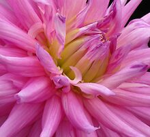 Pink Dahlia by Marilyn Harris