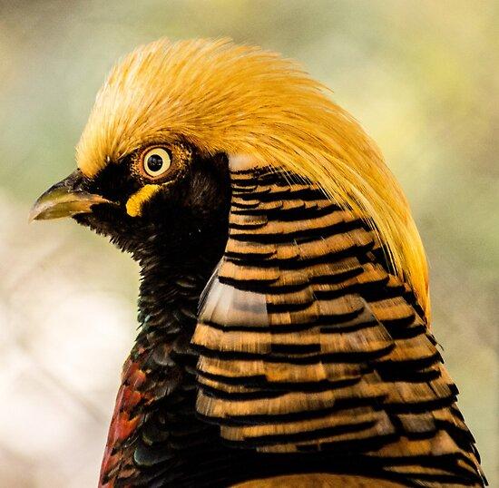 716 chinese pheasant  by pcfyi