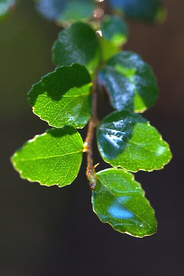 Fagus - in the rainforest by Morag Anderson