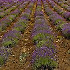 Rows Of Fragrance by sundawg7