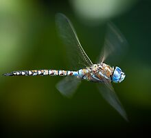 Dragonfly in flight by RandyHume