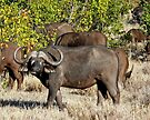 Buffalo (Syncerus caffer) in the Mopani, Kruger by Margaret  Hyde