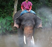 Asian elephant, Chiang Mai, Thailand by indiafrank
