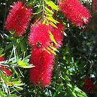A magnificent bottlebrush Kilmore Victoria Australia by Margaret Morgan (Watkins)