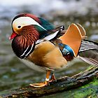 Very Colourful Mandarin Duck by Chris  Randall