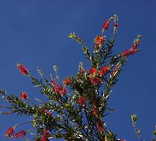 Baby Bottle Brush Tree by Al Bourassa