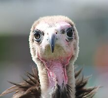 Maggee The Hooded Vulture by Vicki Spindler (VHS Photography)