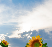 View of field with blooming sunflowers with sunset in background Sticker