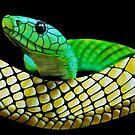 Green mamba (Dendroaspis viridis) by Terry Bailey