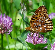 Orange fritillary on purple clover by vigor