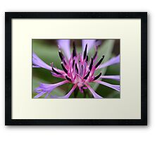cornflower bloom Framed Print