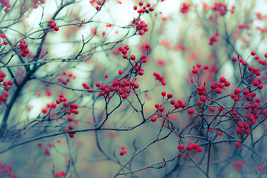 Winter Berries by anniephoto