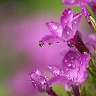 Phlox Refractions II by Lynn Gedeon