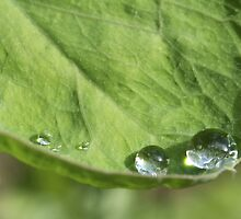 Raindrops on sweet pea leaf by Morag Anderson
