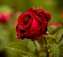 Red Rose in the Rain by Martie Venter