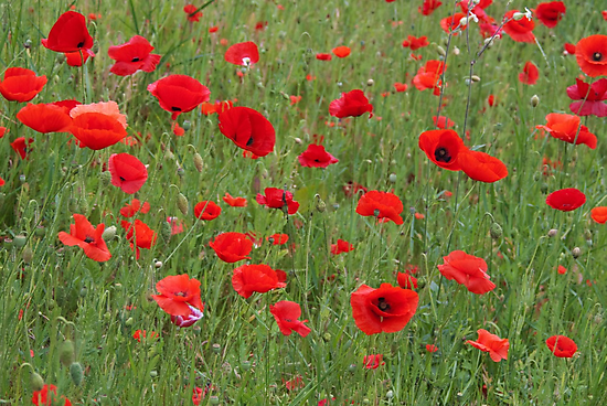Field of poppies by steppeland